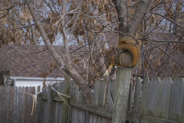 A fine squirrel specimen